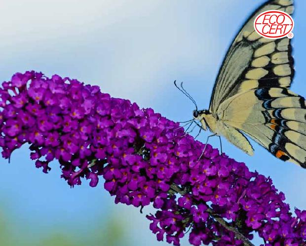 有機蝴蝶花萃取