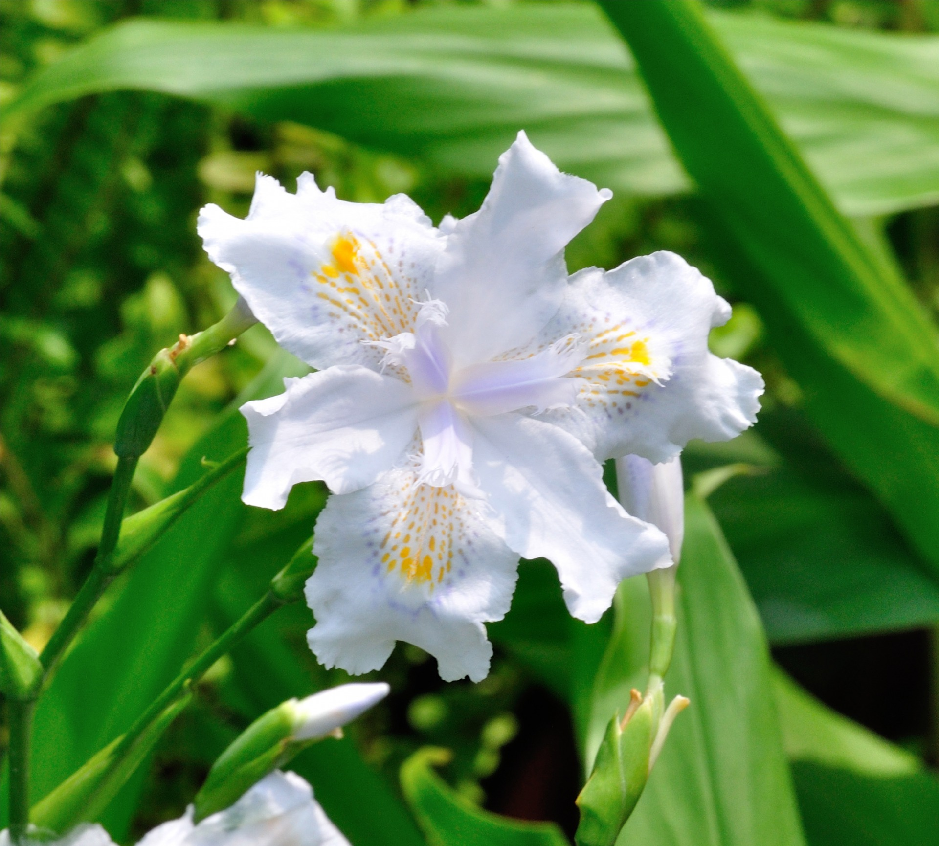 保濕,有機,蝴蝶花,iris, japonica